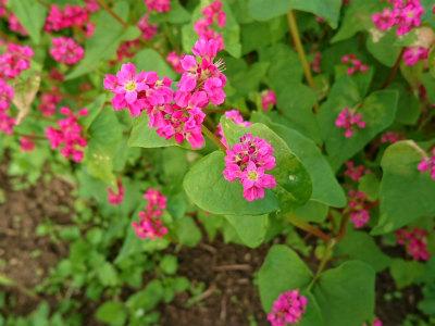吉野ケ里遺跡赤いそばの花  2