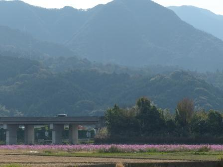 見奈良 コスモス畑 1