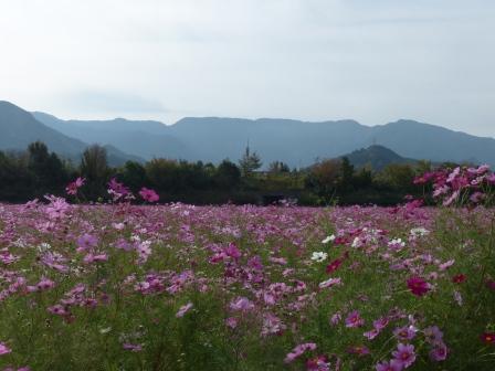 見奈良 コスモス畑 2