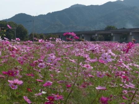 見奈良 コスモス畑 3