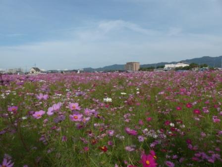 見奈良 コスモス畑 6
