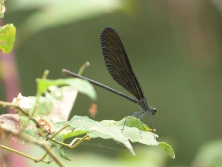 ハグロトンボ ♀ 1