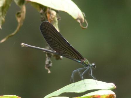ハグロトンボ ♀ 3
