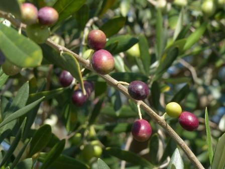 オリーブの果実 1
