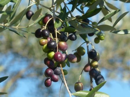 オリーブの果実 2