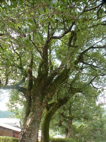 岩崎弥太郎生家 8 大きな木