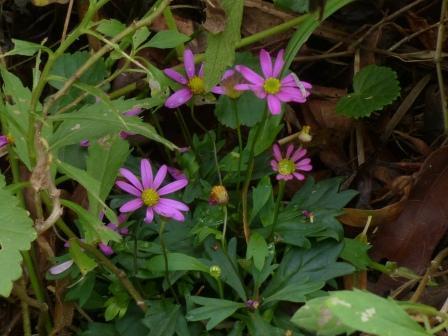 キク科の花 4