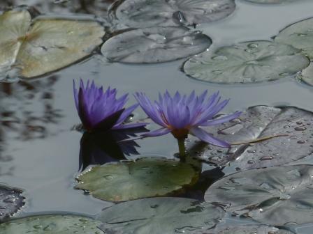 モネの庭 水の庭 睡蓮 1