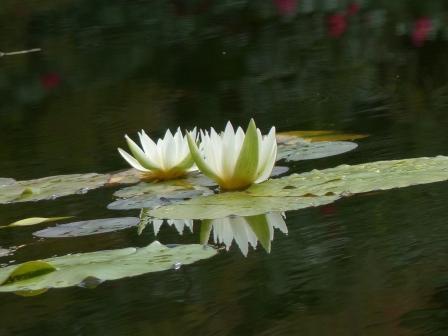 モネの庭 水の庭 睡蓮 3
