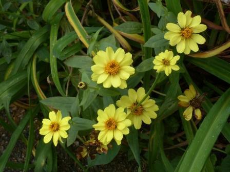 キク科の花 5