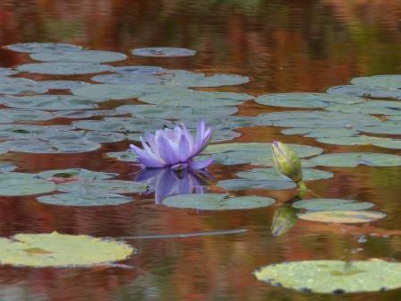 モネの庭 水の庭 睡蓮 8