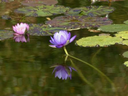 モネの庭 水の庭 睡蓮 4