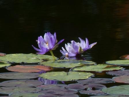 モネの庭 水の庭 睡蓮 5