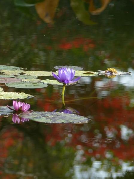 モネの庭 水の庭 睡蓮 7