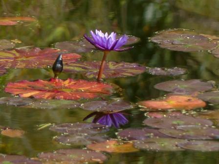 モネの庭 水の庭 睡蓮 6