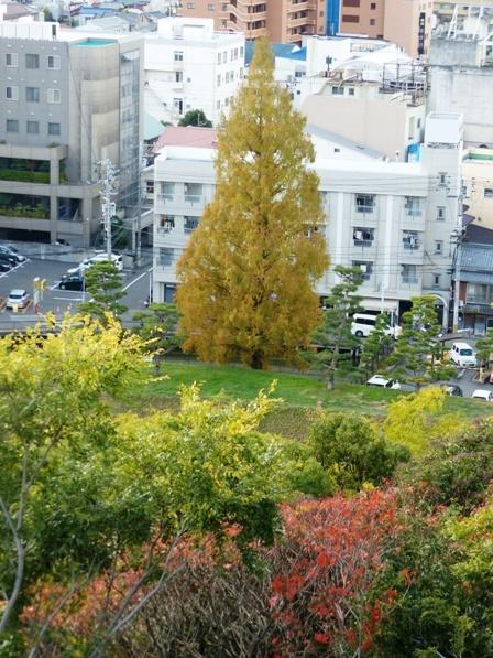 道後公園 メタセコイヤ 黄葉 1