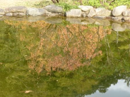道後公園 池に映る紅葉