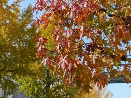 平和通り モミジバフウの紅葉 & イチョウの黄葉 1