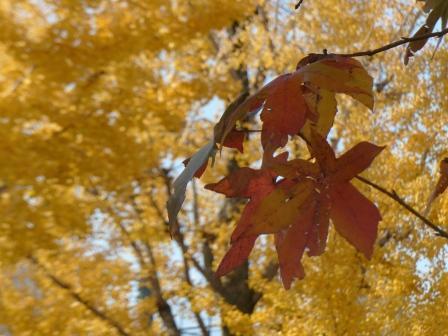 平和通り モミジバフウの紅葉 & イチョウの黄葉 2