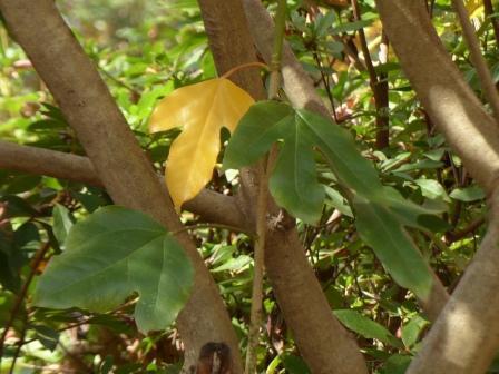 愛媛万葉苑 カクレミノ の黄葉 1