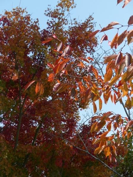 愛媛万葉苑 桜の仲間の紅葉