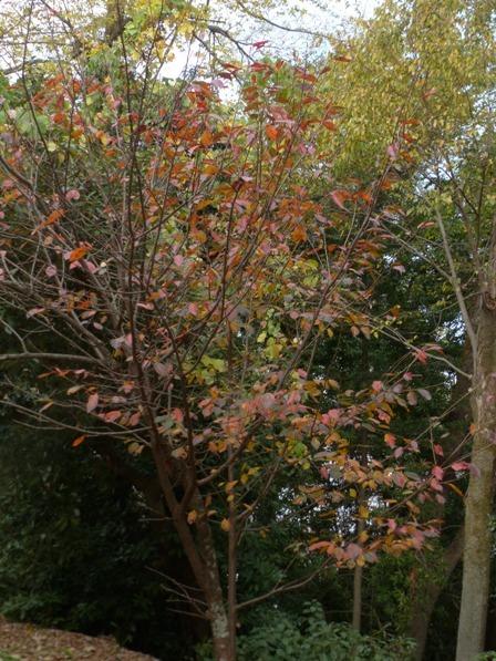 お城山 桜の紅葉 4