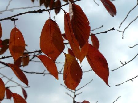 お城山 桜の紅葉 2