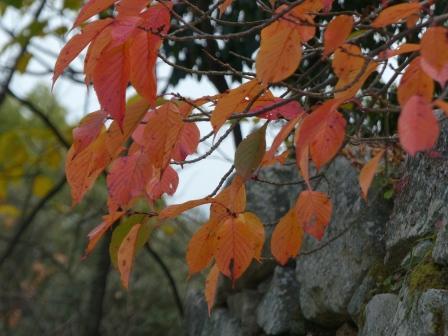 お城山 桜の紅葉 3