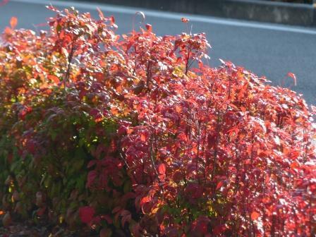 ドウダンツツジ の紅葉