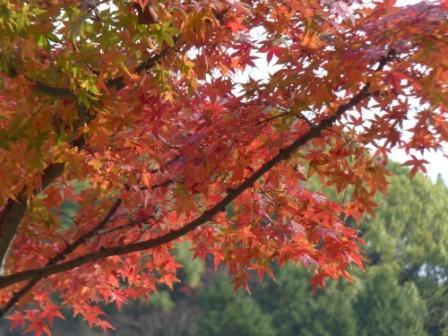 松山総合公園 モミジの紅葉 1