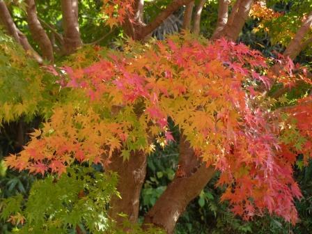 松山総合公園 モミジの紅葉 2