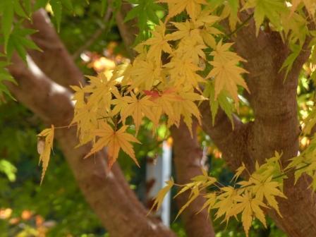 松山総合公園 モミジの紅葉 3