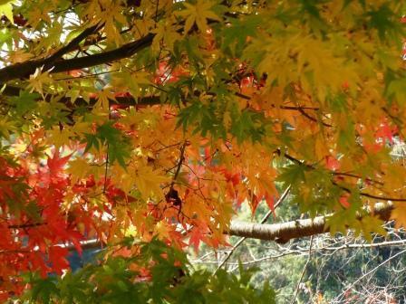 松山総合公園 モミジの紅葉 4