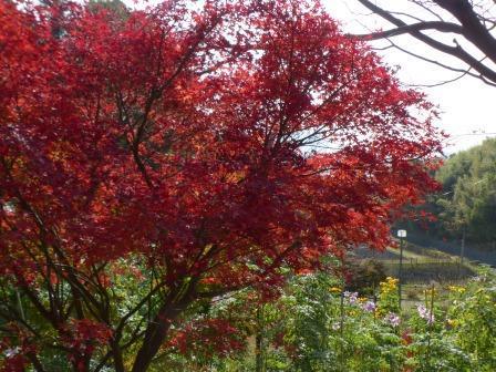 松山総合公園 モミジの紅葉 5