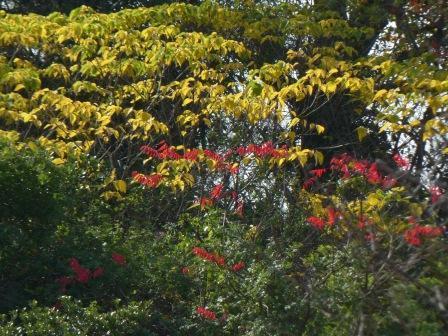 松山総合公園 ハゼノキの仲間の紅葉 と 黄葉