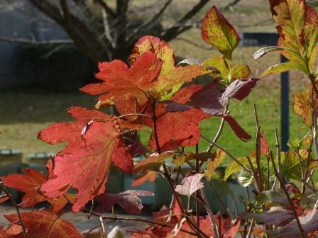 松山総合公園 カシワバアジサイの紅葉