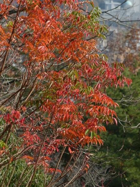 松山総合公園 ハゼノキの仲間の紅葉 1