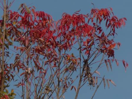 松山総合公園 ハゼノキの仲間の紅葉 2