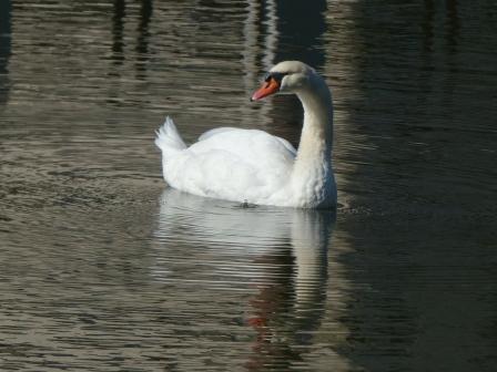 お堀の白鳥 1