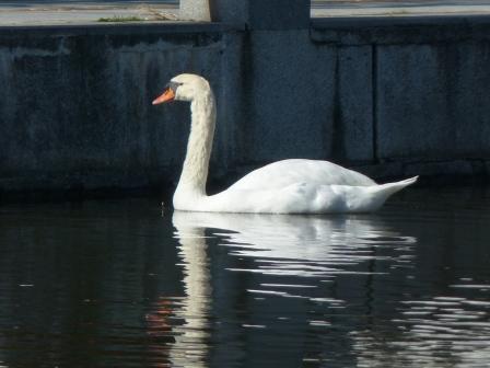お堀の白鳥 2