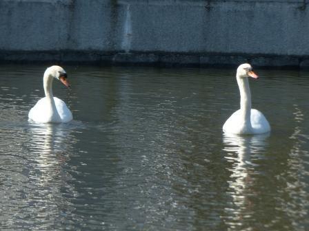 お堀の白鳥 3