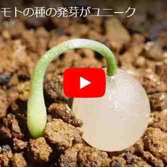 マユハケ発芽動画