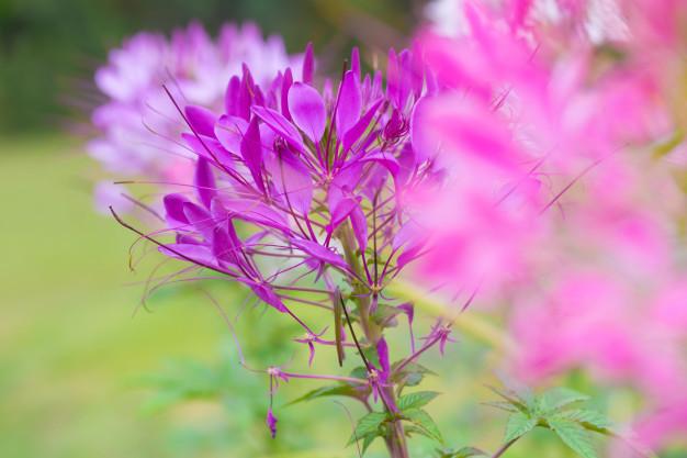 beautiful-flower-with-detail-pollen-of-cleome-hassleriana-spider-flower_43300-897.jpg