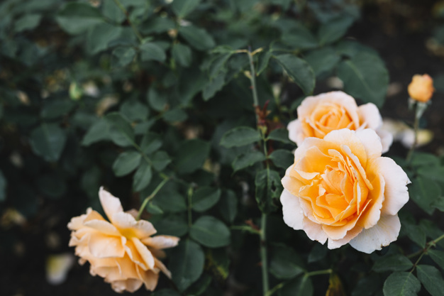 beautiful-roses-blooming-in-garden_23-2147924888.jpg