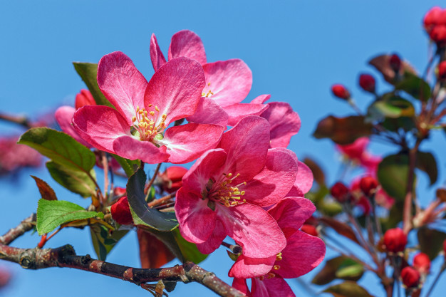 blooming-pink-apple-tree-against-blue-sky_75163-149.jpg