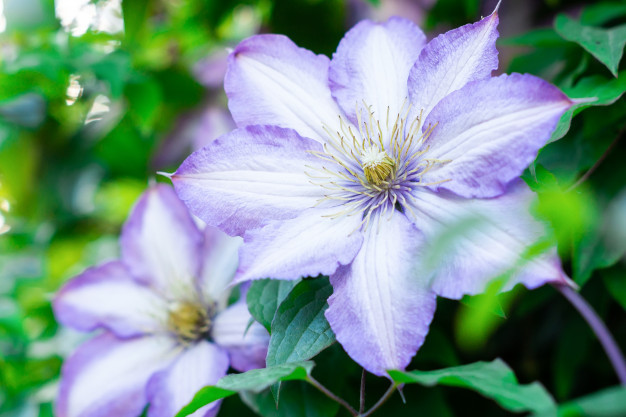 clematis-flowers-green-foliage_78621-123.jpg