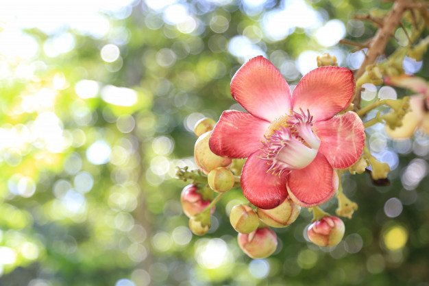 couroupita-guianensis-aubl-with-bokeh_44722-29.jpg