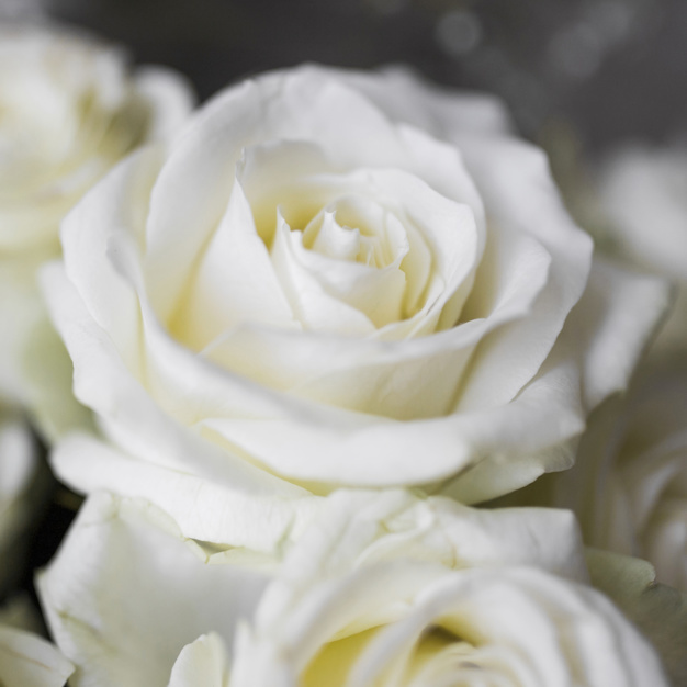 extreme-close-up-of-white-roses_23-2147936756.jpg