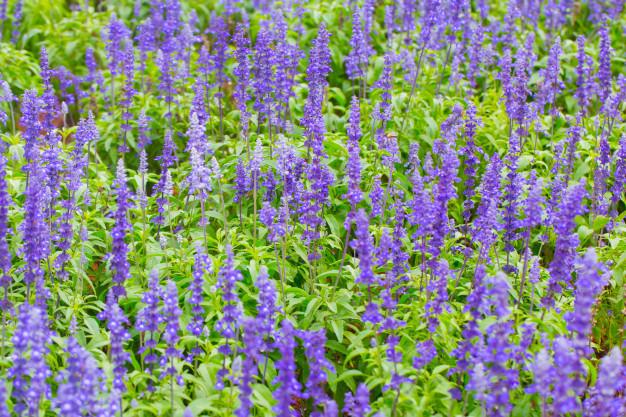 lavender-flower_43300-895.jpg