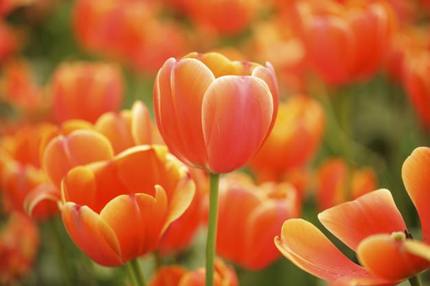 tulip-flower-blooming-in-the-field_41078-159.jpg